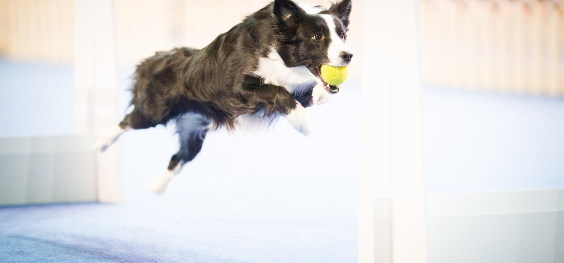 Bordercollie flyball esitys